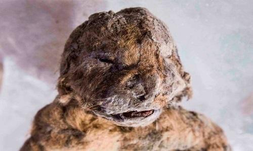 Bi kịch của đôi sư tử nguyên vẹn 55.000 năm dưới băng vĩnh cửu
