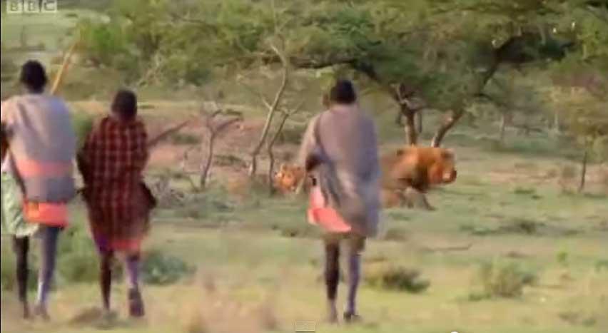3 thổ dân cướp mồi của bầy sư tử
