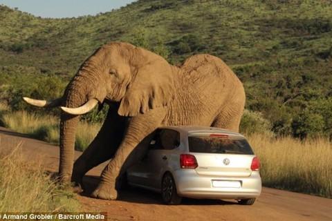 Voi động dục tấn công xe của du khách