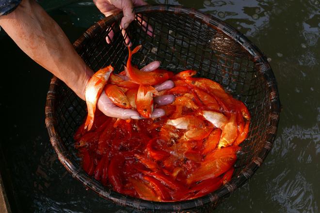 Làng cá chép đỏ trước ngày ông Công, ông Táo về trời