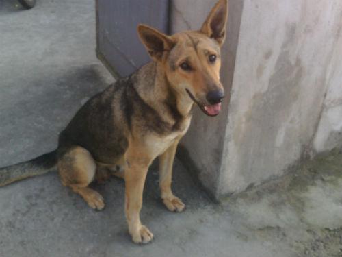 Chú chó chuyên trộm thịt lợn, mang về cho chủ nghèo ở Thanh Hóa