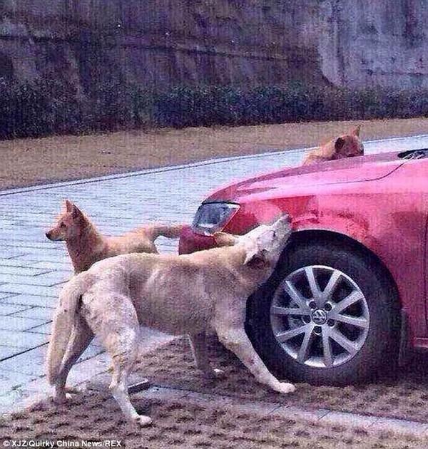 Đàn chó quay lại cắn nát xe ô tô vì bị tài xế cố tình đá trúng
