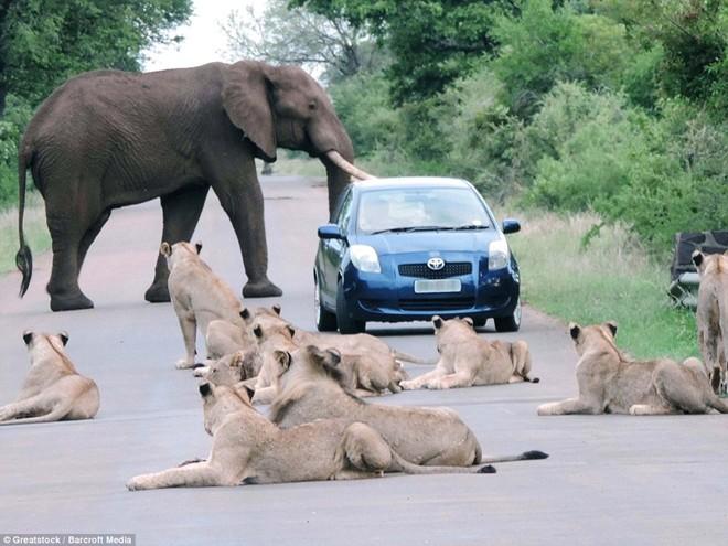 Tắc đường vì voi và sư tử