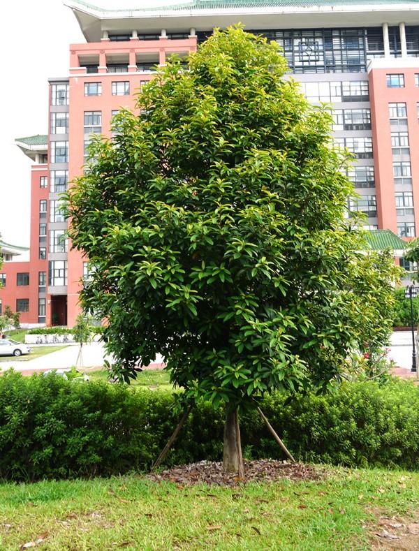Loại cây sẽ thay thế 6.700 cây xanh ở Hà Nội có gì đặc biệt?