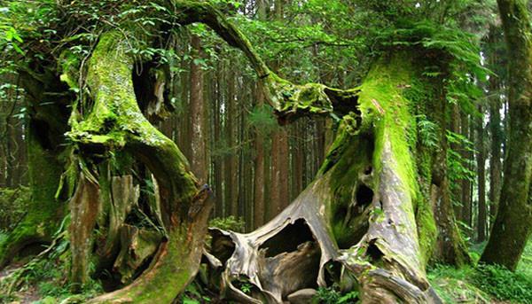 """Bí ẩn """"rừng cây có ma"""""""
