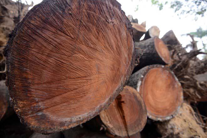 Báo cáo Thủ tướng về việc thay thế cây xanh tại Hà Nội