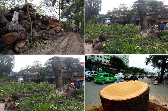 Toàn cảnh vụ chặt hạ cây xanh ở Hà Nội