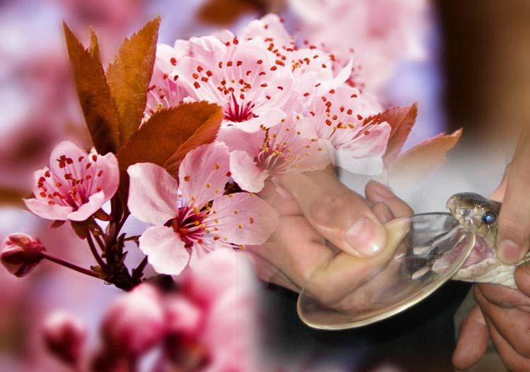 Thổi bay sạm nám từ tinh chất nọc rắn và hoa anh đào