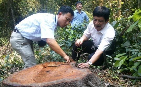 Đốn cây trăm tuổi để bảo vệ… rừng