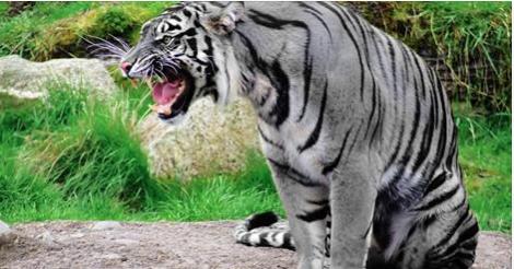 Tóm sống hổ xám khổng lồ chuyên ăn thịt người ở Tuyên Quang