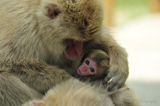 """Đặt tên khỉ giống tiểu công chúa Anh, vườn thú Nhật bị """"ném đá"""""""