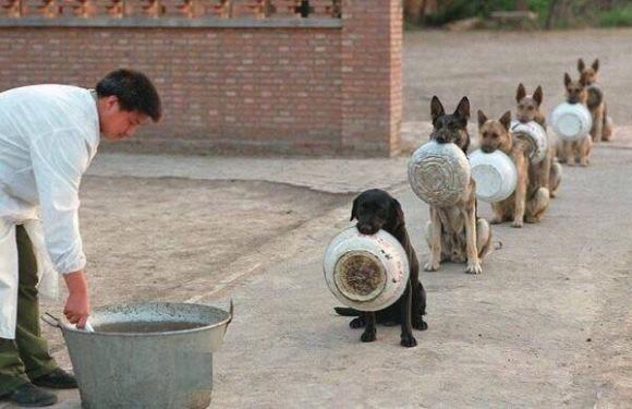 Hình ảnh đàn chó cảnh sát ngậm bát, xếp hàng để chờ được chia đồ ăn gây sốt