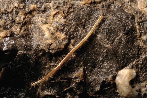 Phát hiện sinh vật lạ có 33 cặp chân sống ở 1.100m dưới mặt đất