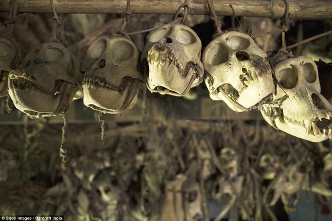 Bộ tộc mài răng nhọn, trang trí hộp sọ trong nhà