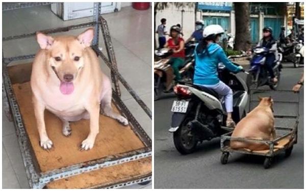 Chú chó béo đến nỗi phải đi bằng... xe kéo khiến cư dân mạng thích thú