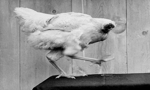 Bí ẩn gà không đầu vẫn sống thêm một năm rưỡi