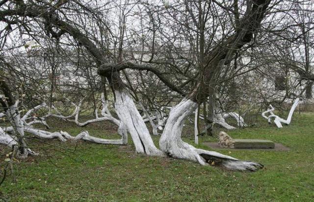 Cây táo 220 tuổi kỳ lạ ở Ukraina