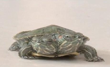 Rùa hai đầu đột biến cực hiếm ở Trung Quốc