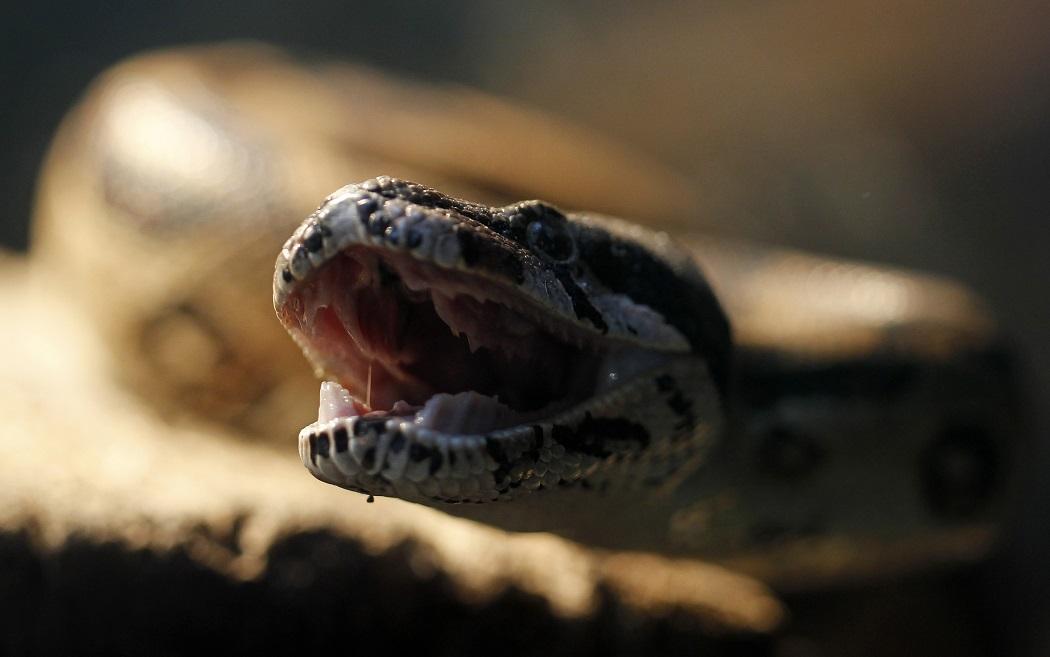 Bé 17 tháng tuổi cắn chết rắn độc