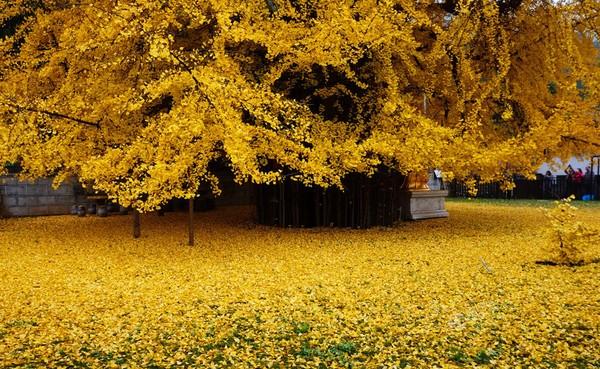 Mùa thu vàng tuyệt đẹp dưới gốc cây ngân hạnh 1400 năm tuổi
