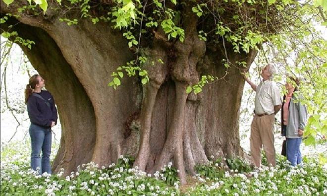 Những cây đại thụ huyền thoại ở Anh