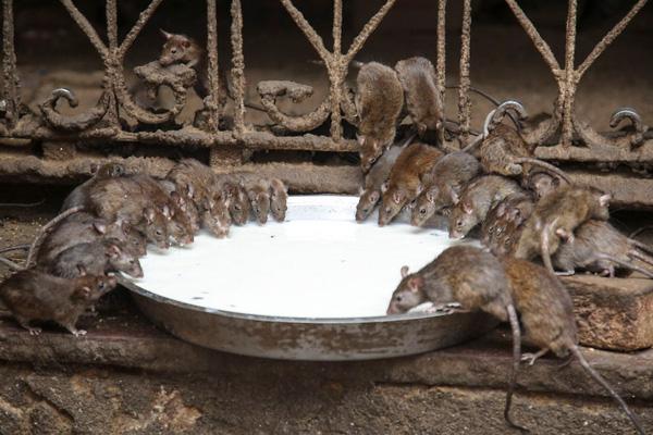 Bên trong ngôi đền Ấn Độ nuôi tới 20,000 con chuột