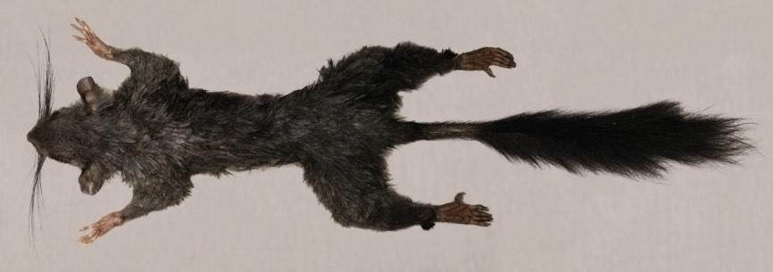 Tìm thấy loài động vật có vú bí ẩn nhất thế giới