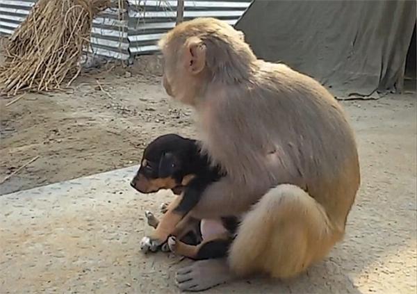 """Cảm động trước """"hành vi nghĩa hiệp"""" của chú khỉ """"bảo mẫu"""""""