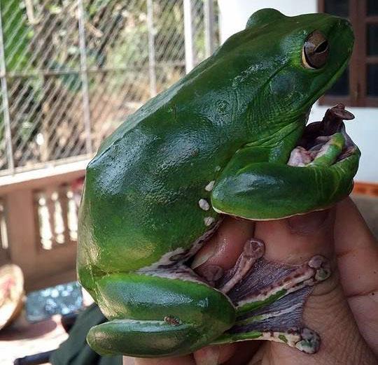 Bắt được ếch xanh quý từ dãy Trường Sơn