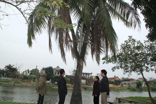 Độc đáo cây dừa 3 ngọn ở Thanh Hóa