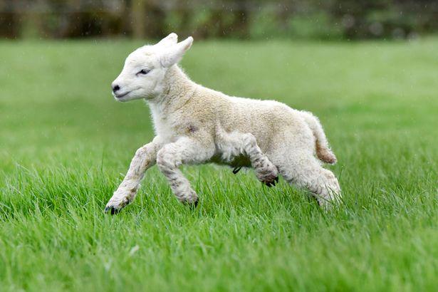 Kỳ lạ cừu đẻ ra đã có năm chân