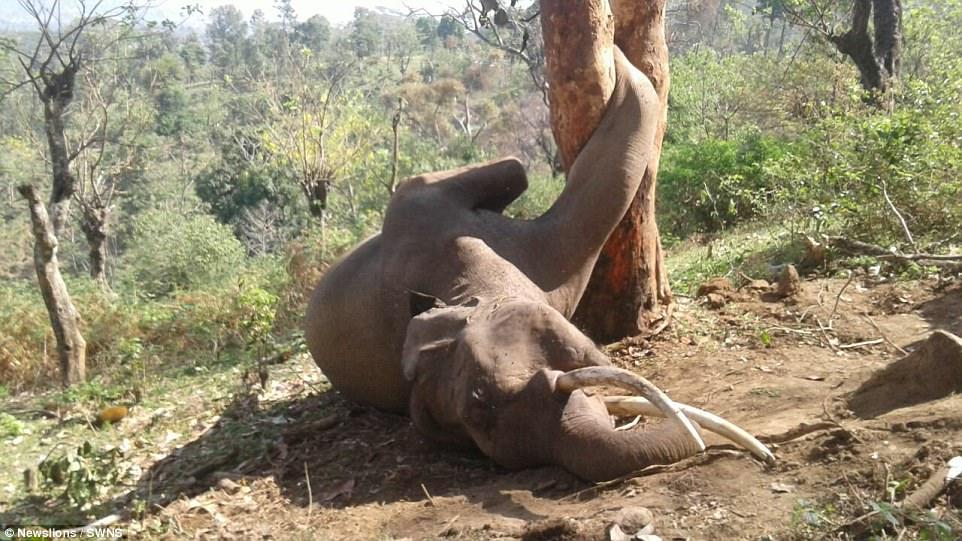 Trèo cây hái mít, voi khổng lồ chết thảm vì kẹt chân
