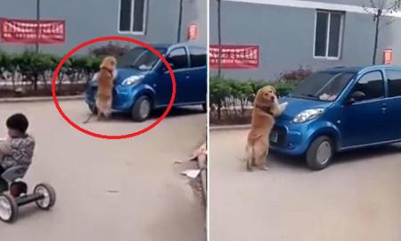 Chú chó lao vào ôtô đang chạy để bảo vệ chủ nhân