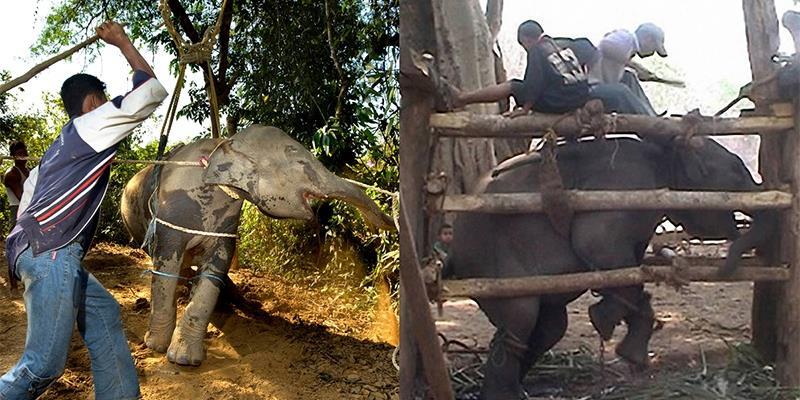 Xót xa trước cảnh những chú voi bị hành hạ để phục vụ du khách