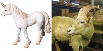 """Sửng sốt khi phát hiện cừu """"kỳ lân"""" tưởng chỉ có trong truyền thuyết"""