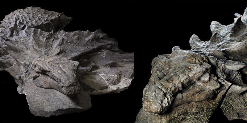 Ngỡ ngàng hóa thạch khủng long 110 triệu năm trông như chỉ đang ngủ