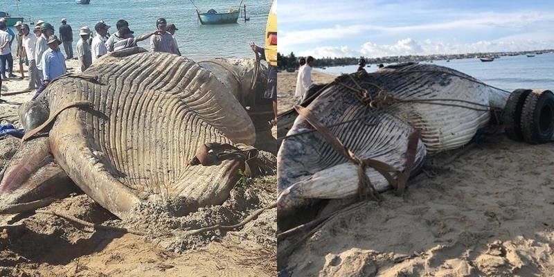 Cá voi nặng hơn 15 tấn dạt vào biển Mũi Né
