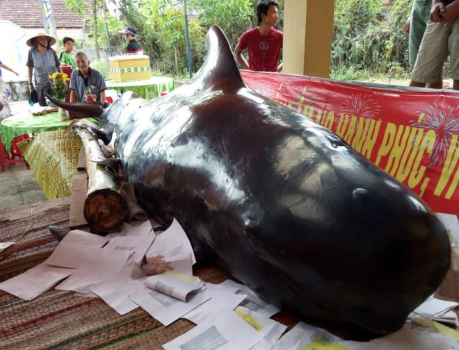 """Cá """"Bà Chuông"""" nặng 800 kg dạt vào bờ biển Quảng Ngãi"""