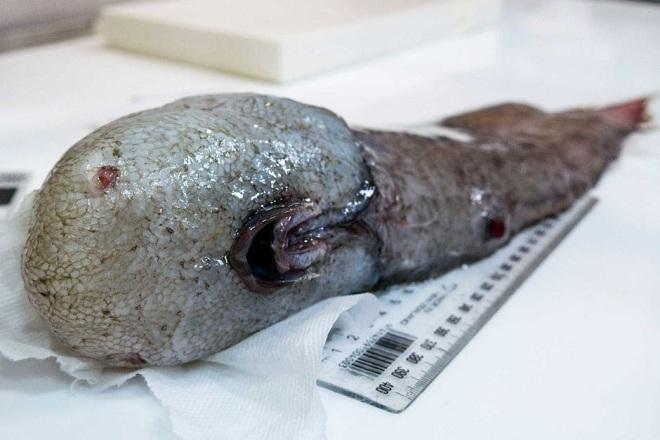 Úc: Phát hiện sinh vật không mặt quái dị dưới đáy biển sâu