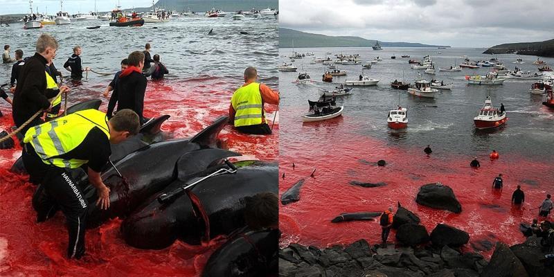 Máu nhuộm đỏ cả vùng biển với lễ hội giết cá voi hằng năm ở Đan Mạch