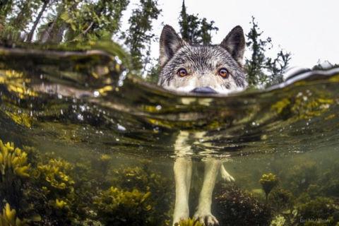 Sói biển quý hiếm bơi giỏi như rái cá