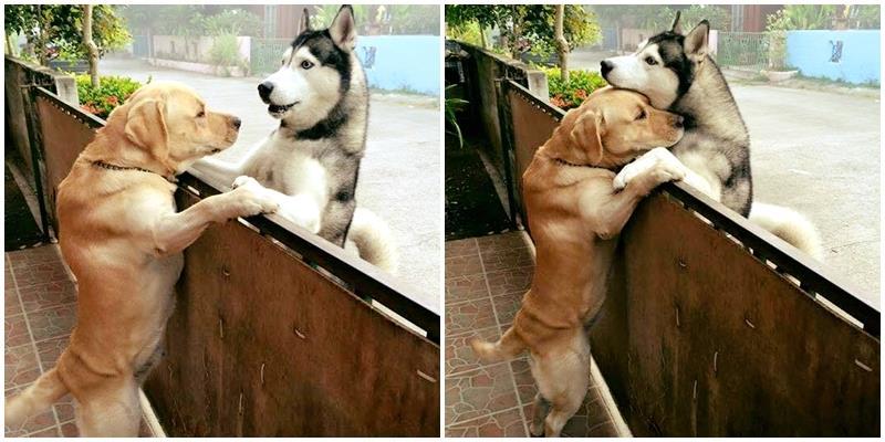"""Chuyện tình hàng rào của cặp đôi cún chung tình khiến CĐM """"tan chảy"""""""