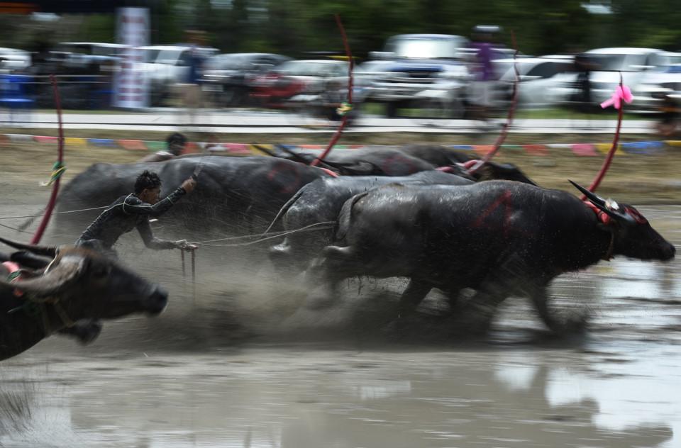 Trâu nước Thái Lan đua quyết liệt trong lễ hội truyền thống