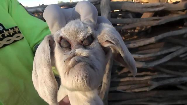 Dê mặt quỷ gây xôn xao ở Argentina