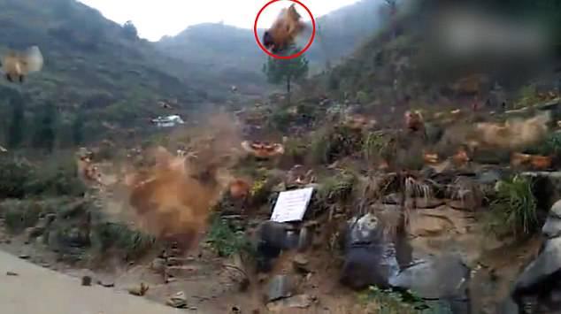 Đàn gà bay ào ào như chim ở Trung Quốc