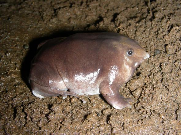 Sinh vật kỳ lạ, chân như lợn, thân như cá ở Ấn Độ