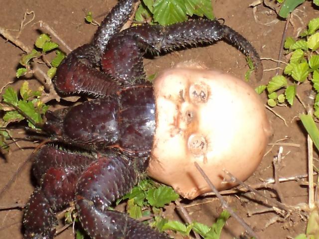 Sinh vật dùng đầu búp bê làm vỏ, kéo đi khắp nơi