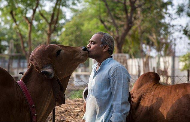 Người đàn ông bỏ vợ bỏ con để đến sống với bò