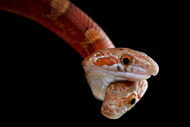 Kỳ dị con rắn 2 đầu cắn nhau tranh thức ăn