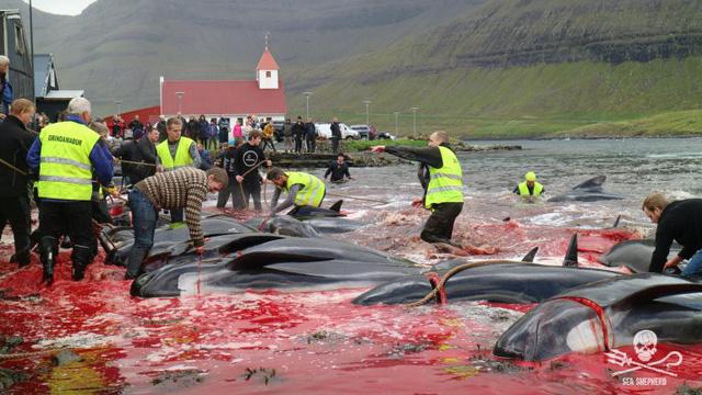 Kinh hoàng cảnh tượng hàng trăm con cá voi, cá heo bị giết ở quần đảo Faroe